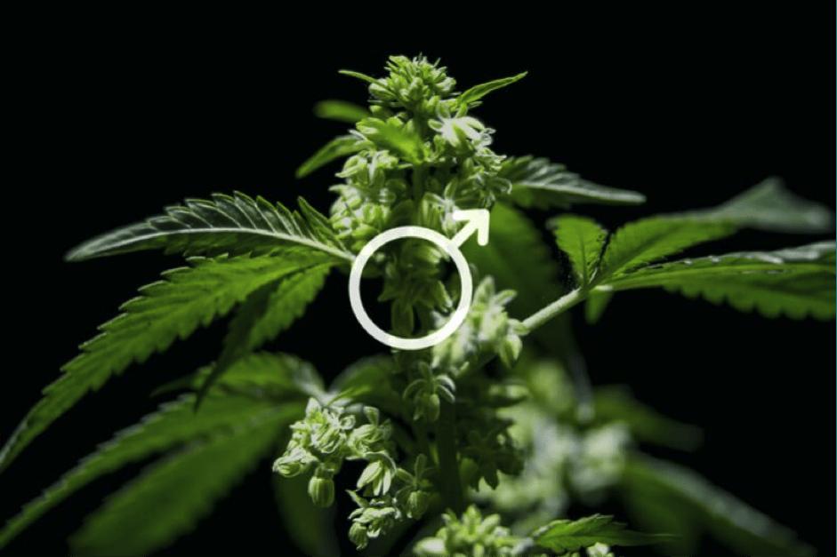 Мужская особь марихуаны крема и косметика с коноплей
